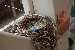 Robins-egg